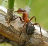 Narrow headed ant by Gus Jones