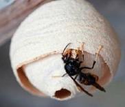 An image of an asian hornet
