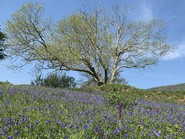 Ash tree surrounded by bluebells