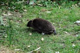Hedgehog in garden credit:Tina Burke