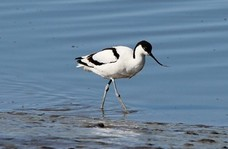 An Avocet bird on water.
