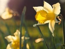 Daffodils.