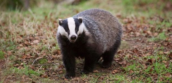 A badger in the woods
