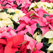 Picture of Poinsettis