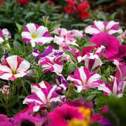 Summer bedding plants 02
