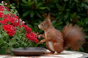 red squirrel on bird table