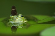 frog in water with butterfly on its head