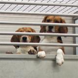 Pair housing of dogs in metabolism studies