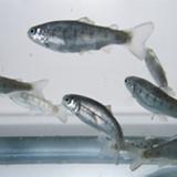 Fish bioaccumulation studies