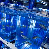 Zebrafish tanks