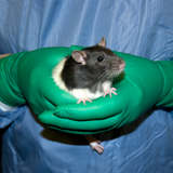 Refining rodent stereotactic surgeries