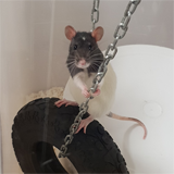 Rat playpens for improved welfare