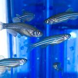 Find resources on zebrafish welfare