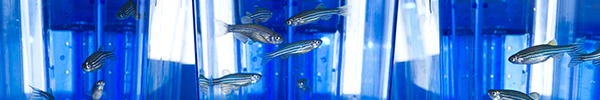 Zebrafish in three laboratory tanks side-by-side