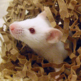 White mouse looking out of its nest