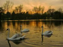 Bulwell Hall swans