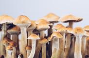 A row of magic mushrooms