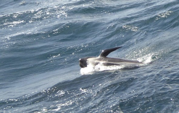 Pilot Whales spotted from the RRS Discovery