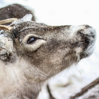Meet reindeer at Upton Country Park