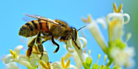 KC LIB bees