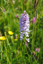 Common Orchid