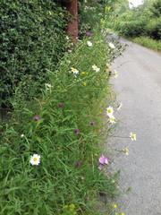 wildflowers growing on roadside verge at Edgton