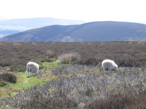 sheep grazing on the Long Mynd common