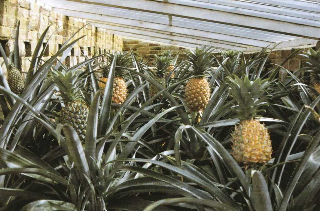 Pineapples growing at Heligan (copyright Sue Gregory)