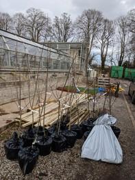 tree saplings at nursery awaiting planting