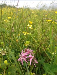 ragged robin in seeded meadow