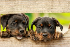 two rottweiler puppies looking through a fence