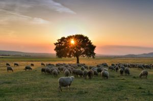 Sheep grazing in front of a tree at a sunset or sunrise