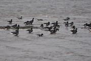Brent geese on the Exe Estuary