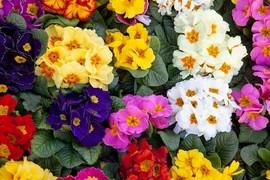 Market  primulas in bloom flowers