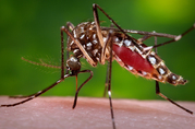 Aedes aegypti mosquito by Jim Gathany