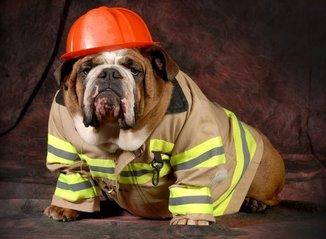Bulldog dressed in firefighter attire