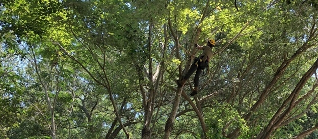 USDA Tree Climber inspects a tree for Asian longhorned beetle in South Carolina