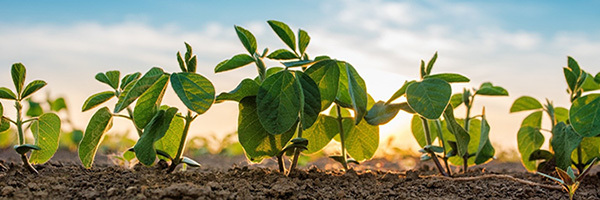 close-up photo of soybean seedlings in a field