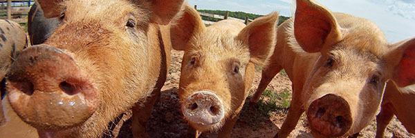 photo of farm pigs