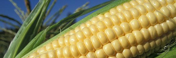 up-close photo of corn on the cob