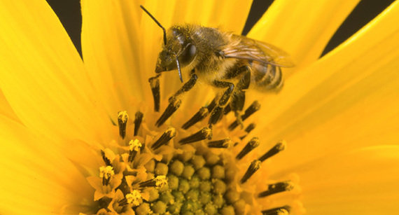 A bee gathering pollen and nectar from a helianthus flower.