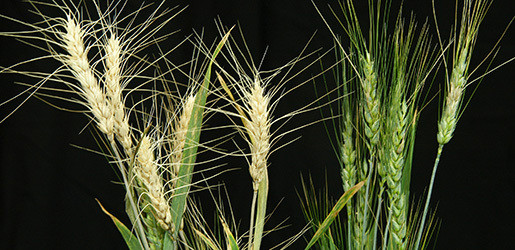 """A healthy wheat line (right) and a wheat line infected with """"scab,"""" or Fusarium head blight (left)."""