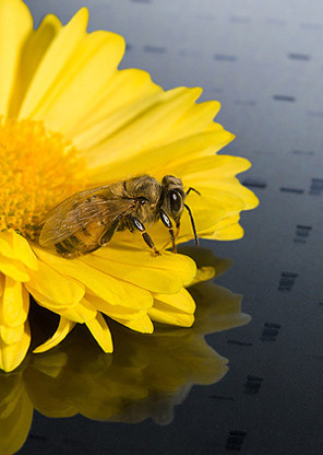 Honey bee on a DNA map