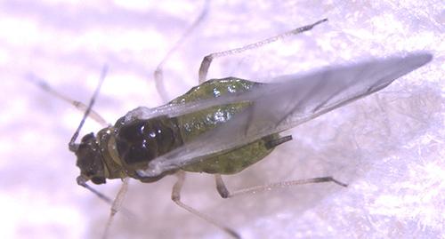 Aphis ruborum adult.