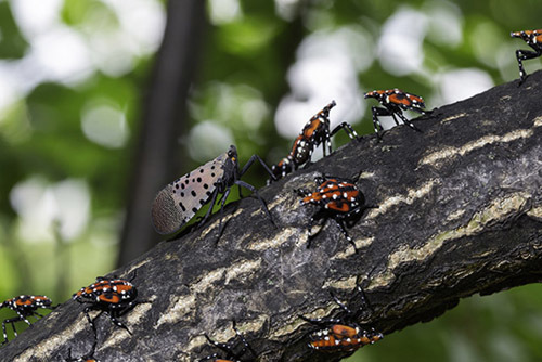 Spotted lanternfly adult and nymphs on a tree branch
