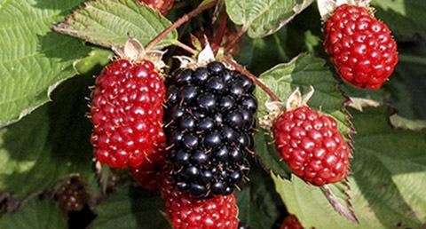 New blackberry variety Twilight