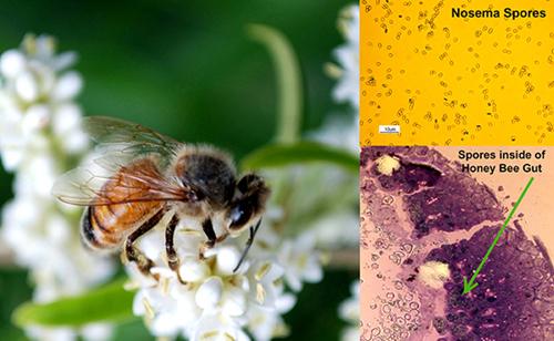 Nosema ceranae spores in a honey bee gut.