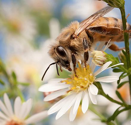 Honey bee on an aster flower.