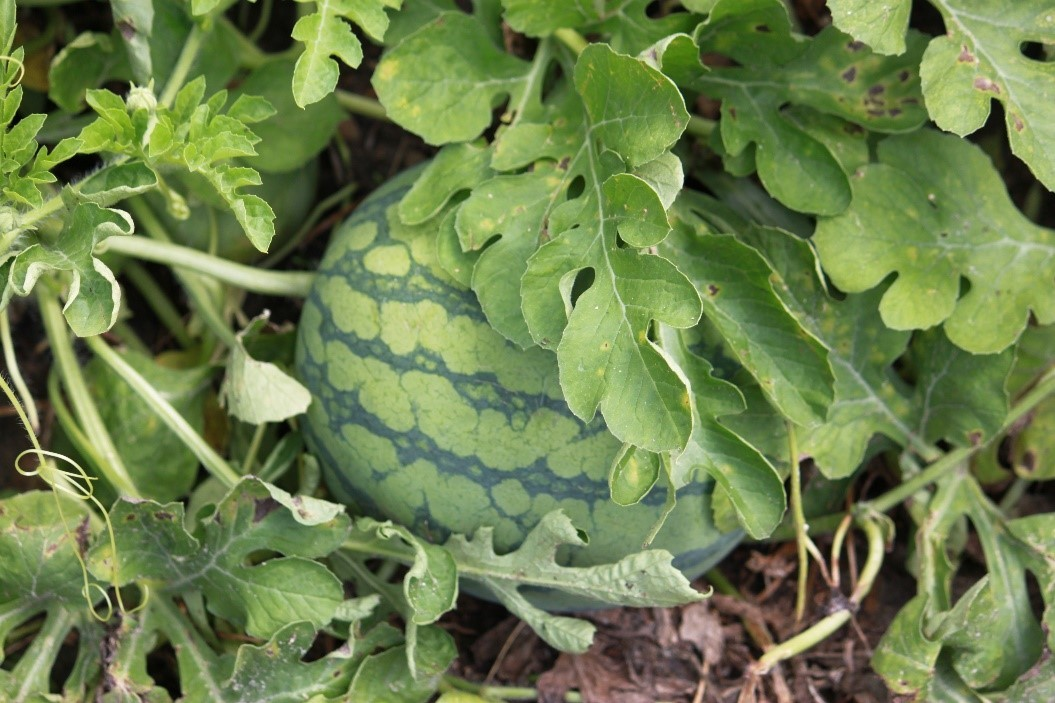 Watermelon image for GovDelivery