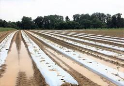 Tomato Disaster Wet NJ